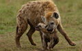 Hyena Bonding with Cub by Ian Whiston
