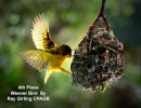 04 Weaver Bird by Ray Girling