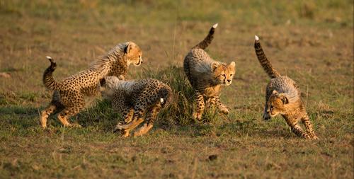 1st: Cheetah Cubs Playtime