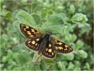 2nd Chequered Skipper by Sue Girling