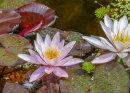 3rd: Water Lillies