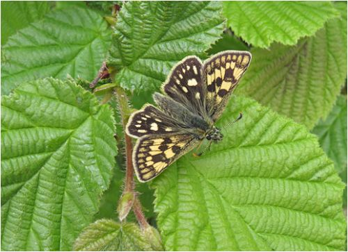 3rd Chequered Skipper by Sue Girling