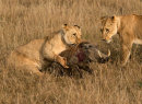 4th: Lioness Catching Warthog
