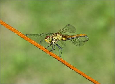 5th Dragonfly on Guy rope by Veronica Nicholas