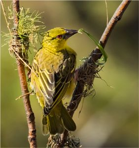 5th Weaver bird by Jim Cain