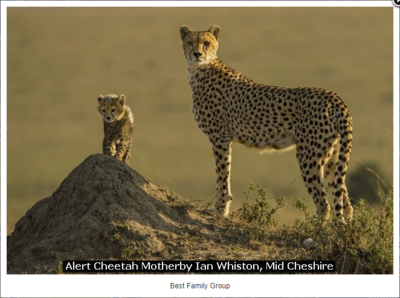 Alert Cheetah Mother