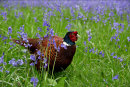 Commended: Pheasant in Bluebells