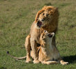 Commended: Paradise Pride Lions Mating