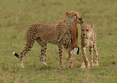 Cheetah with Food for Sibling