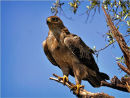 Commended: Tawny Eagle
