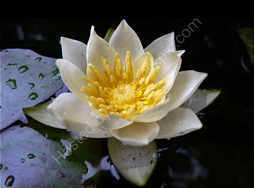 Commended: Water Lily