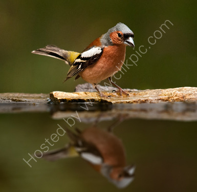 Commended: Chaffinch Displaying