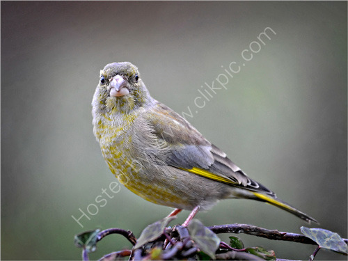 Commended: Juvenile Greenfinch