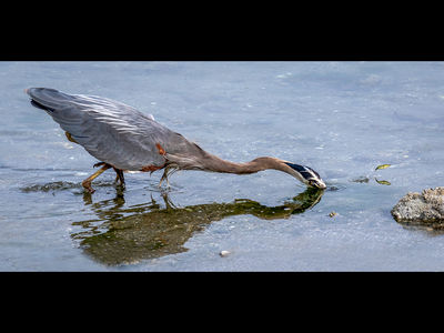 Great Blue Heron Missing Catch