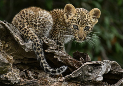 Leopard Cub - 2018 Annual PDI Competition Overall Winner