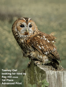 Tawny Owl Looking for Food