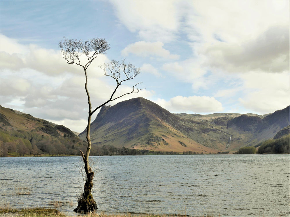 The Buttermere Tree