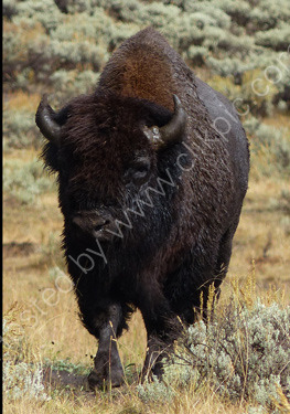 Commended: Bison Heading My Way