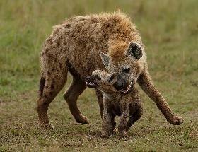 Hyena Bonding with Cub