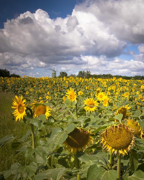 Sunflowers in Burgundy