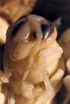 Hornets nest inside a mulberry tree
