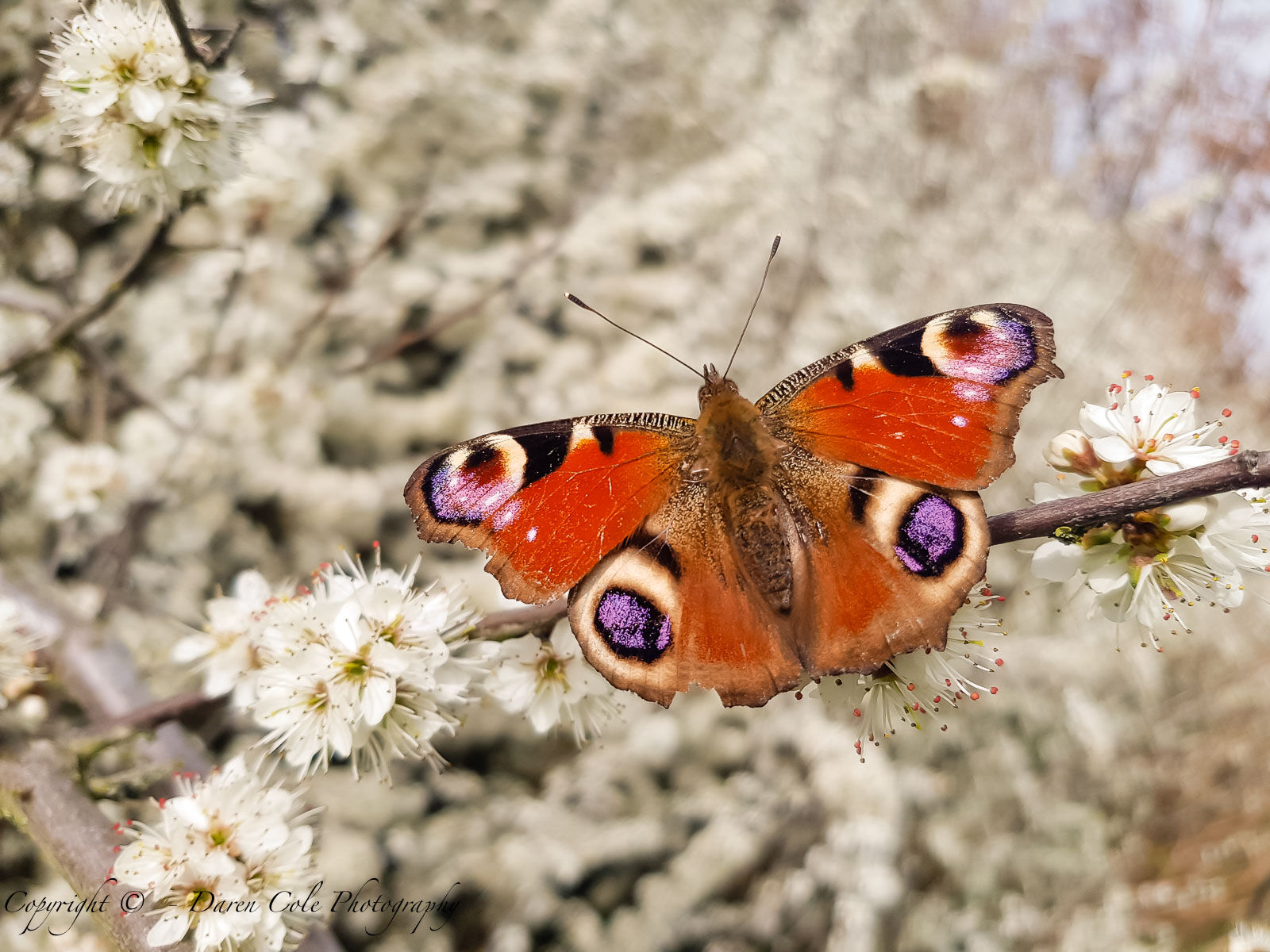 Butterfly on Blossom