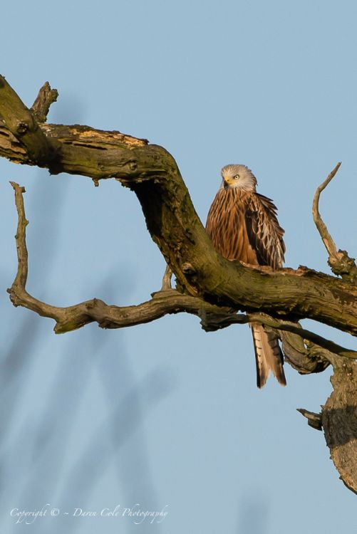 Red Kite sitting in a Dead Tree