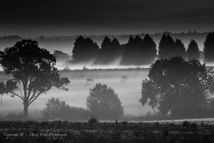 Horses Grazing in Early morning Mist - Black and White