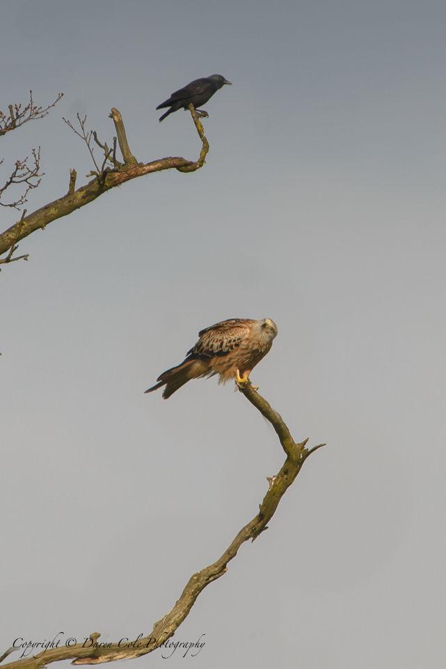 Kite and Crow