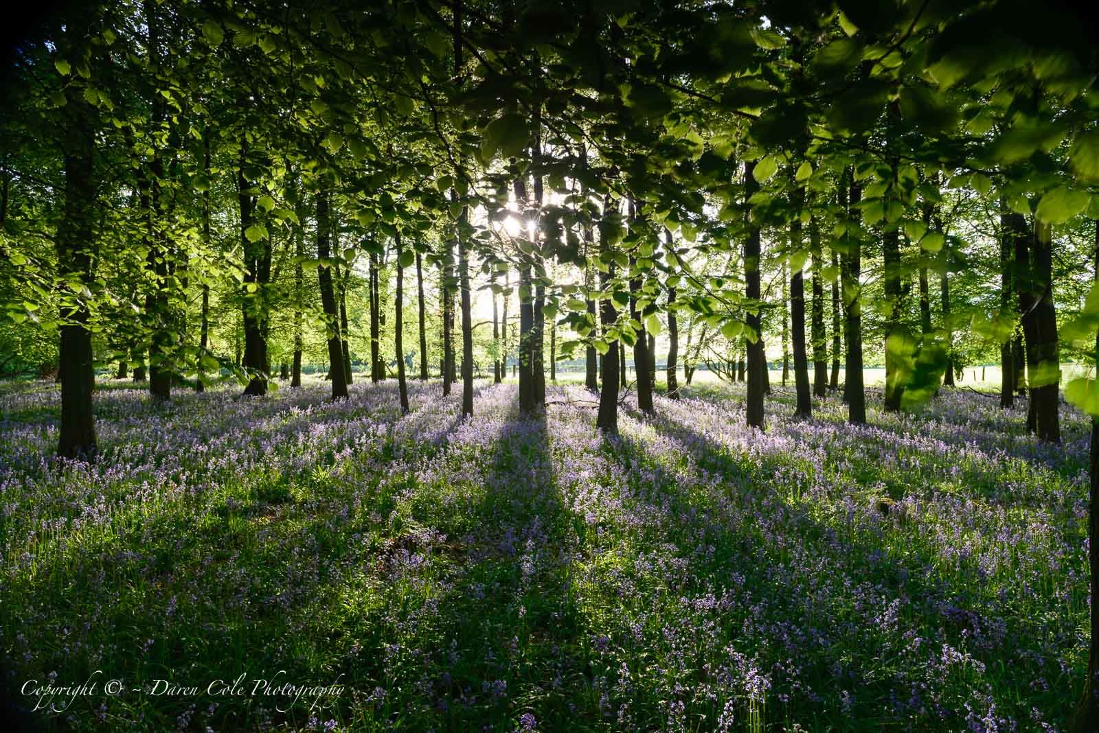 Backlit Beech Trees and Bluebells- Long Shadows