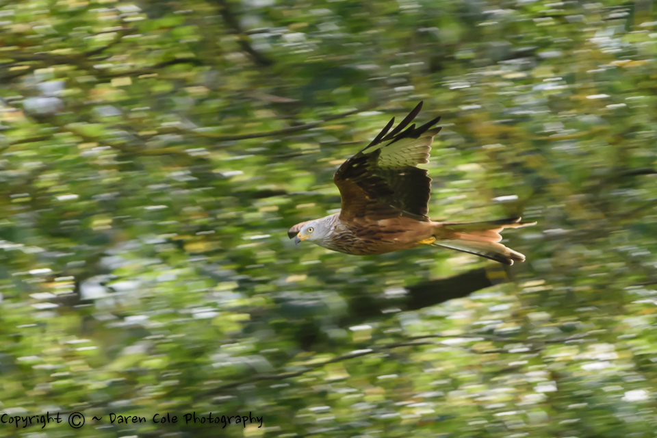 Red Kite Flying Through the Trees