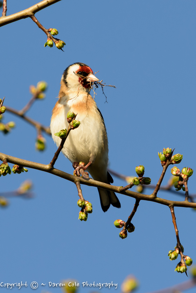 Goldfinch Nest Building