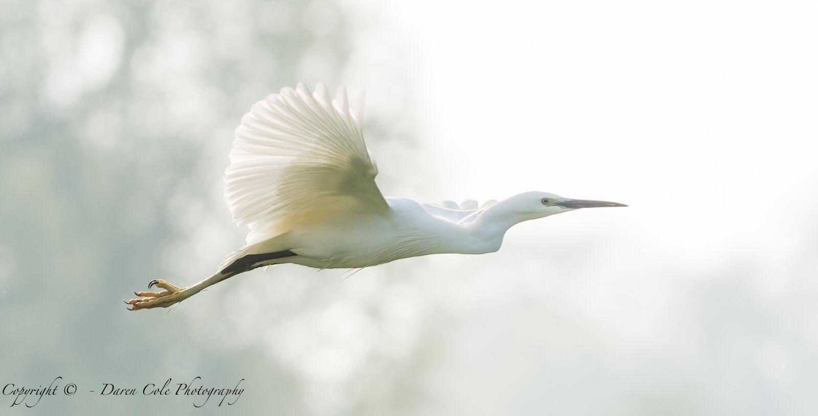 Egret Backlit in Flight 2