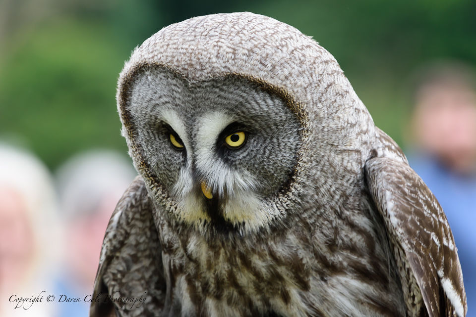 Wise Old Grey Owl