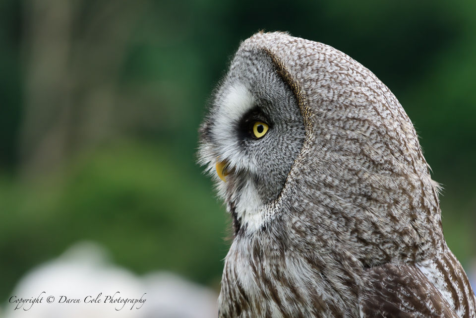 Grey Owl - Looking Left