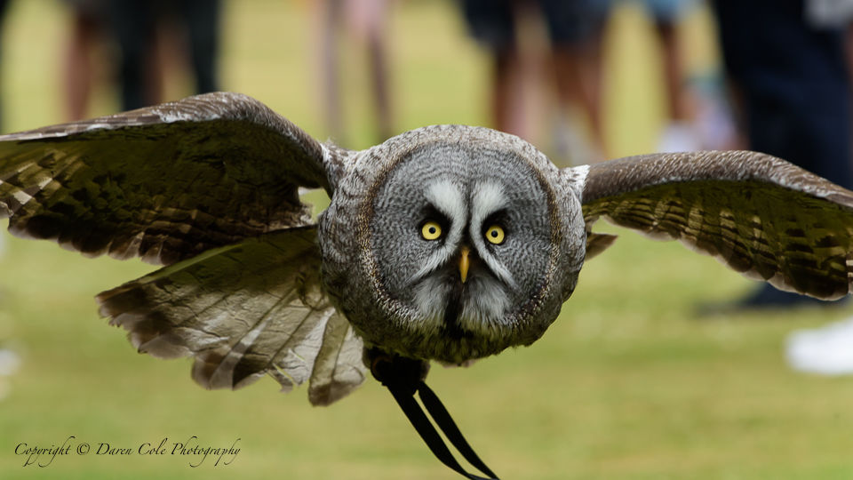 Grey Owl - In Flight