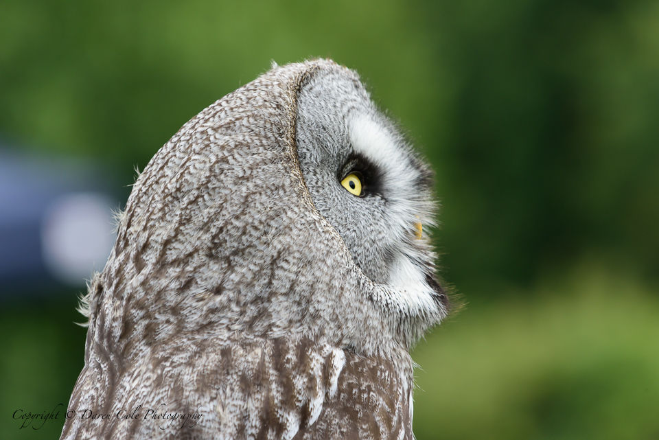 Grey Owl - Looking Right