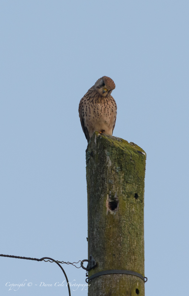 Inquisitive Kestrel