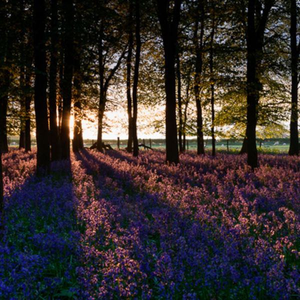 Bluebell Wood at Sunset 2017