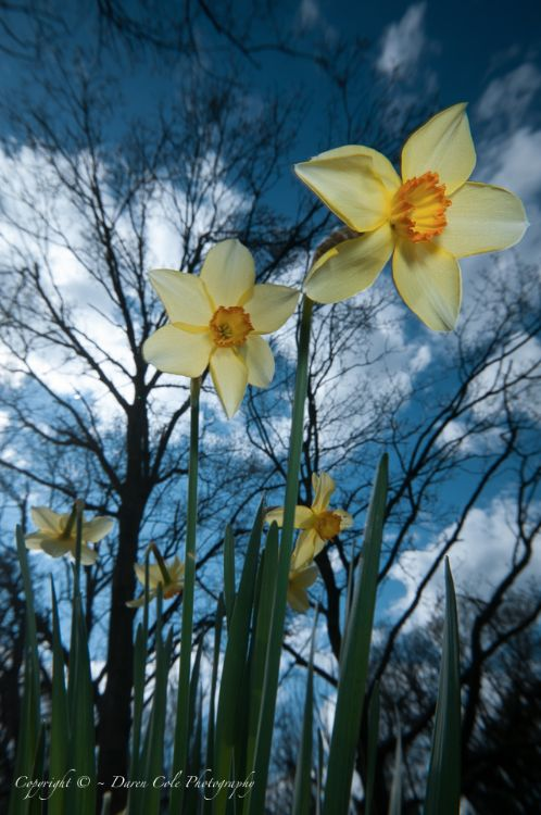 Daffs and Sky