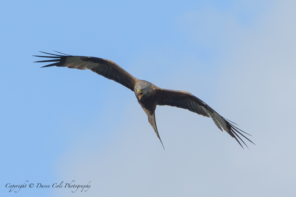 Red Kite with attitude