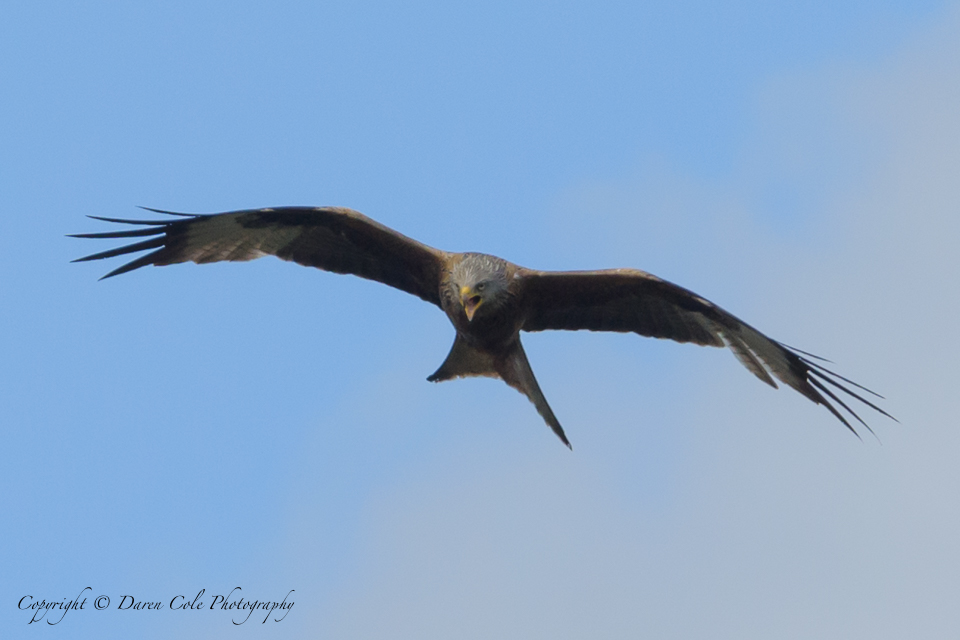 Red Kite with attitude 2