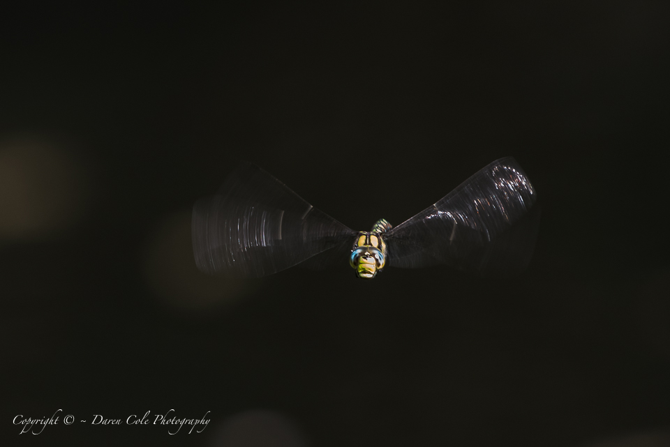 Dragon Fly in Flight
