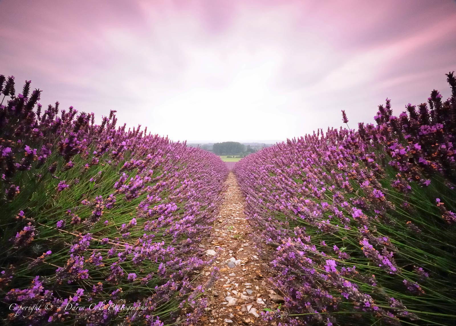 Lavender Field Sunrise