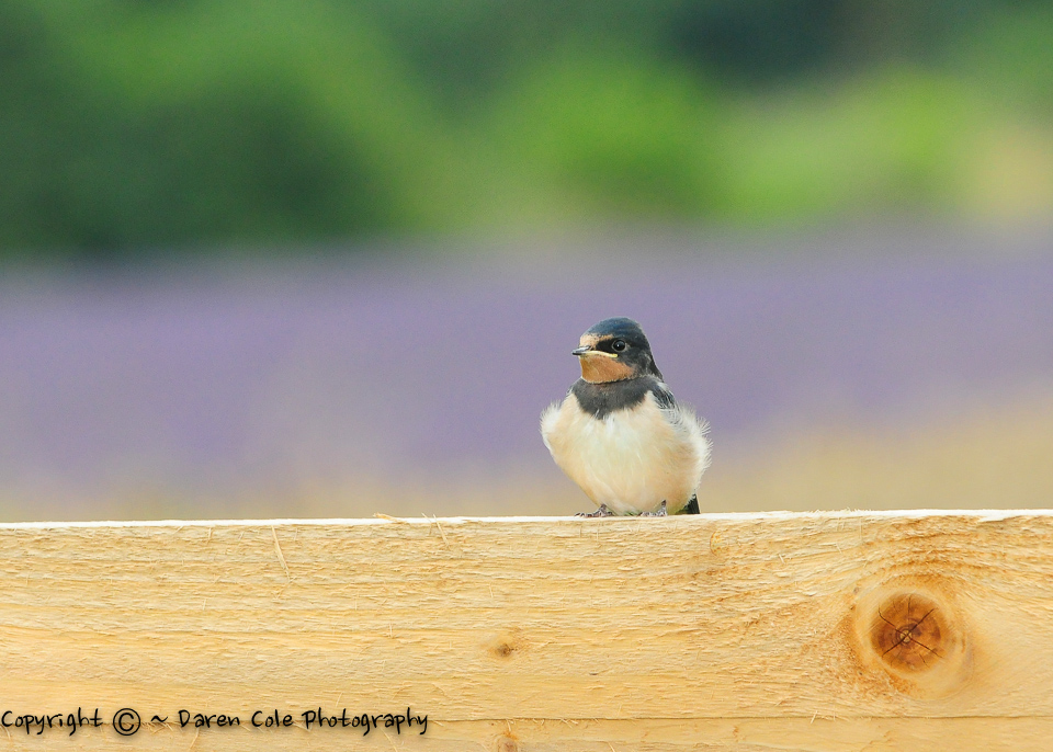 Swallow Fledgling on a Fence