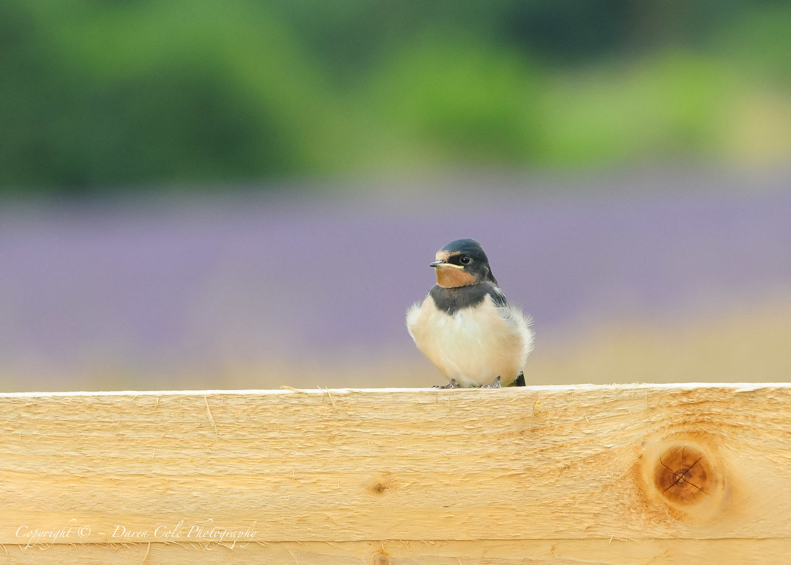 Swallow Fledgling 1
