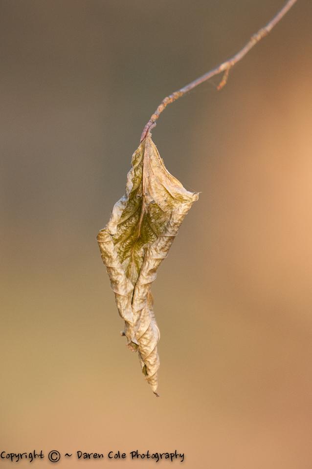 Gold N Green ... the last leaf