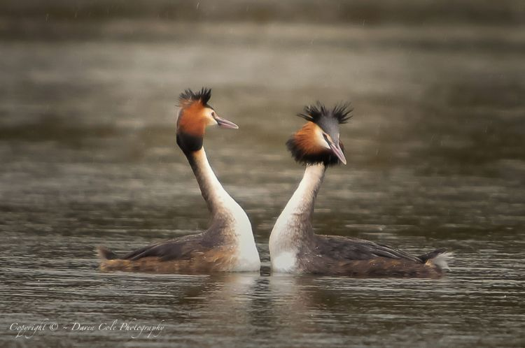 Grebes Courting in the Rain