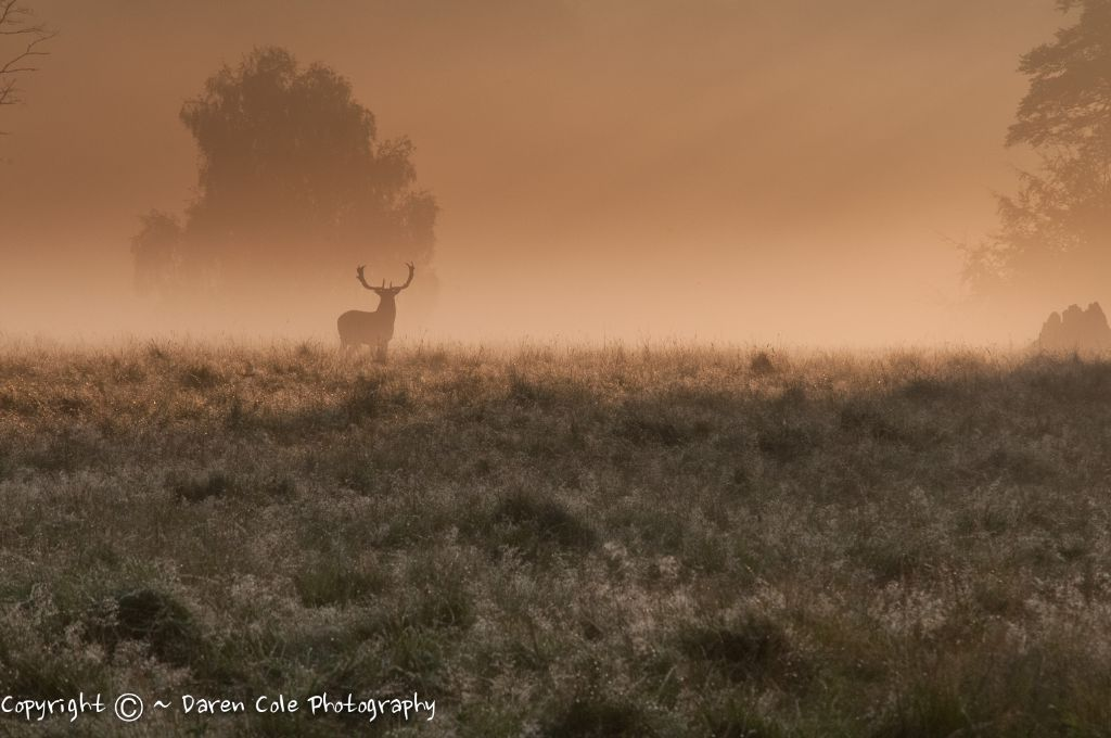 Proud Stag Sillouetted against the Mist at sunrise