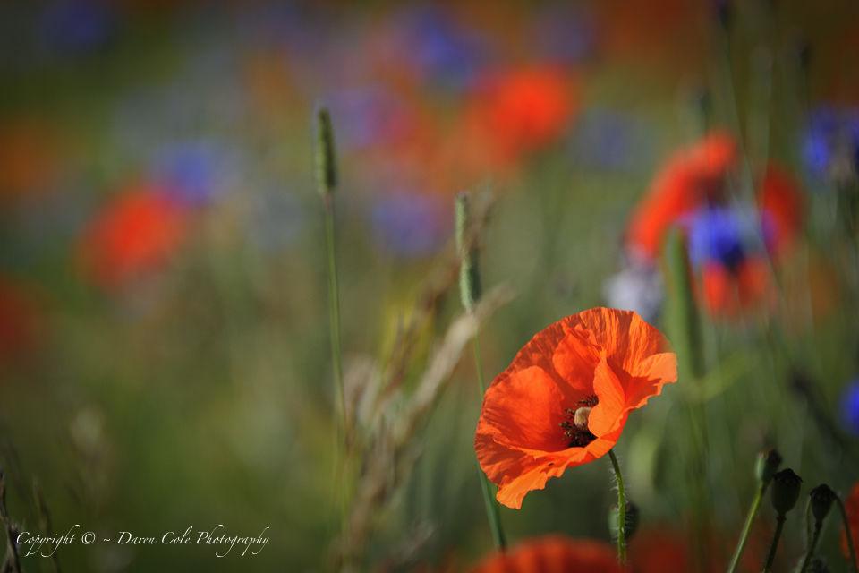 Poppy and Cornflower